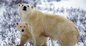 polar-bear-5-paul-nicklen-ngs