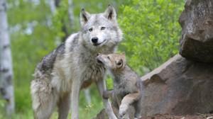 wolf-desktop